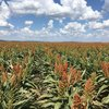 'Sow The Revolution' to benefit corn and sorghum growers